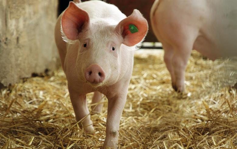 Schweine auf eingestreuten Stallflächen