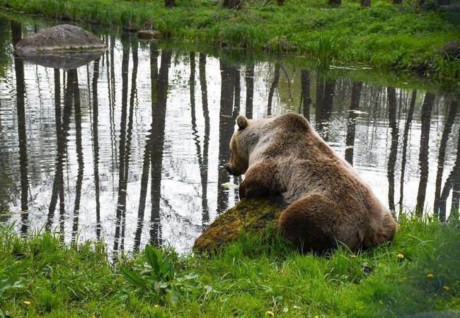 Bear Rocco at BEAR SANCTUARY Müritz