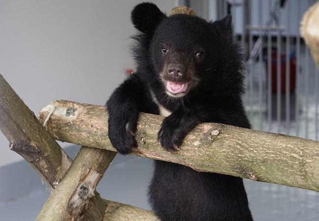 black bear cub playing