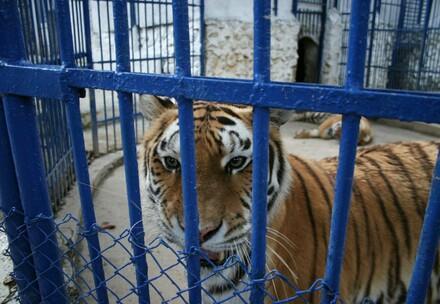 Les tigres sont élevés dans le but de faire d'être utilisés comme marchandise