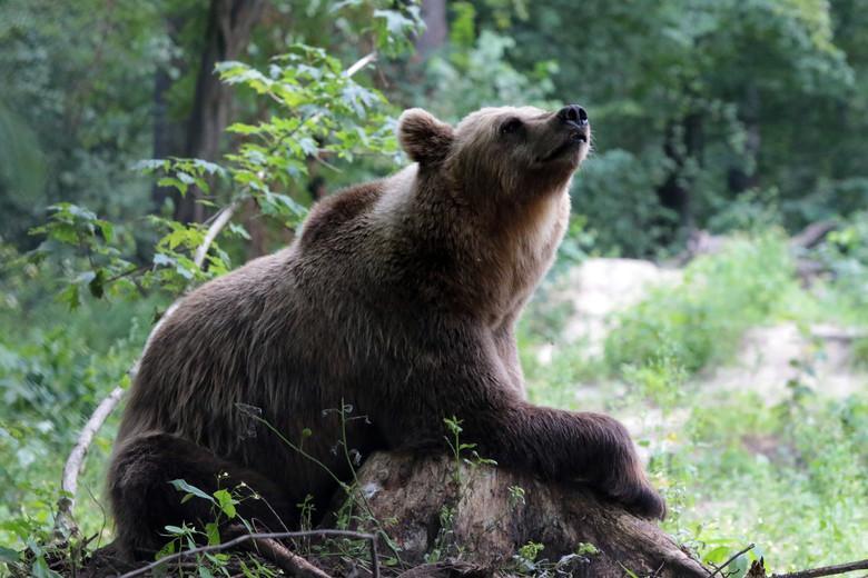 Brown bear at BEAR SANCTUARY Domazhyr