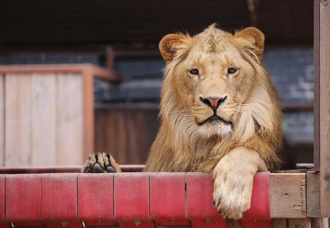 Lion Terez in his hammock