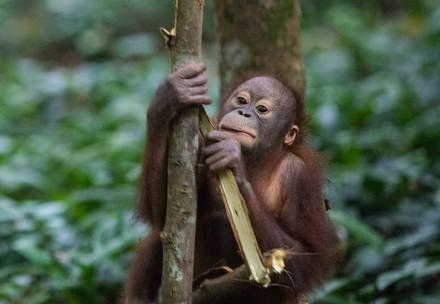 We help apes