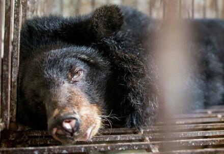 Bären in einem Käfig in Vietnam, wenig Platz und rostig