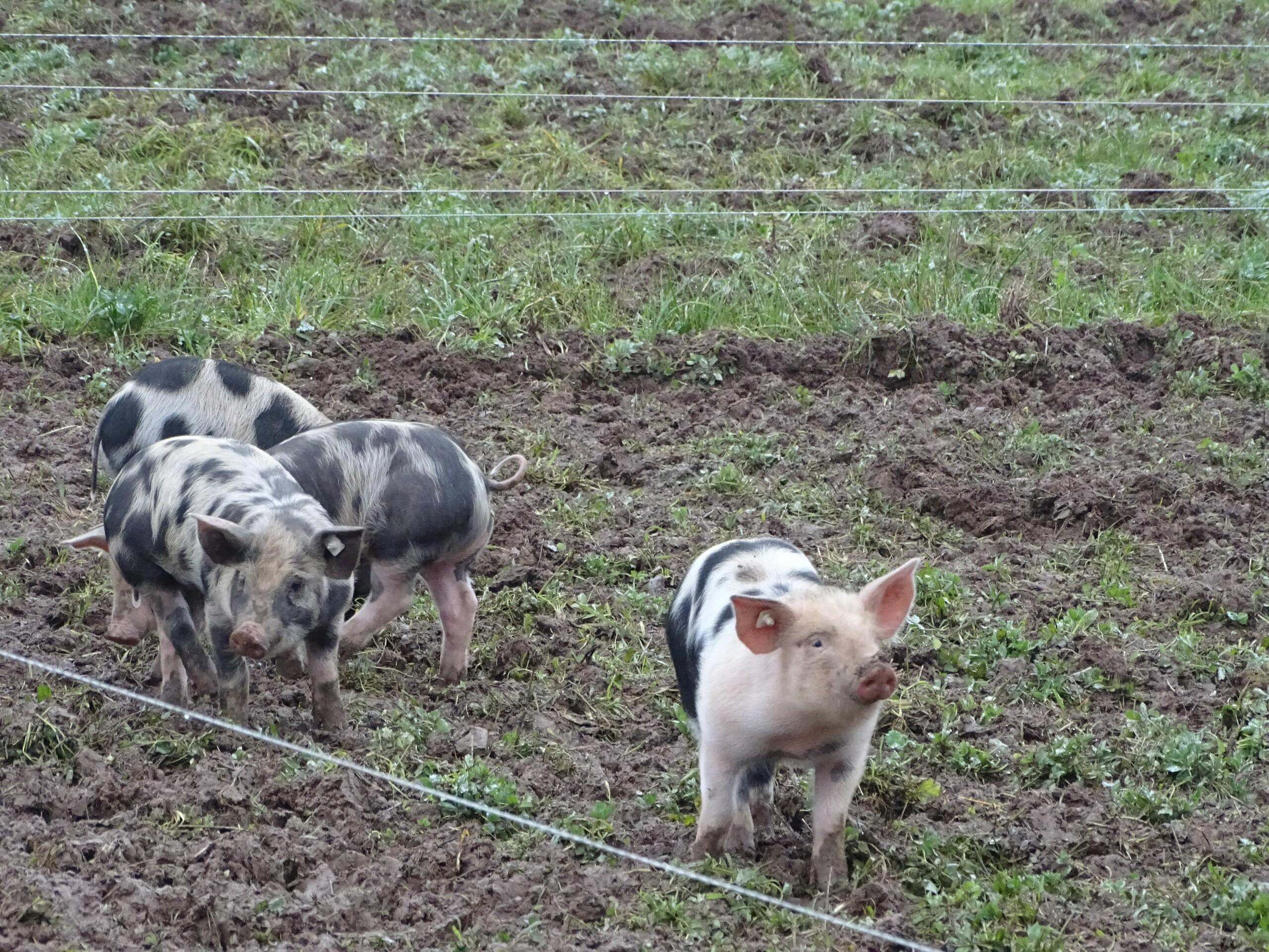 Schweinehaltung mit Zugang zu Tageslicht und Frischluft