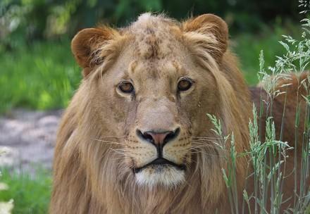 Lion Terez at FELIDA