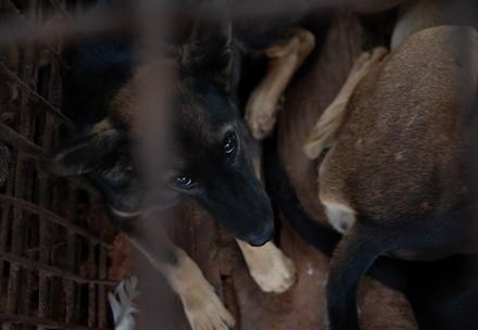 A dog slaughterhouse in Cambodia