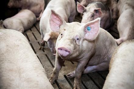 Schweinchen im Stall