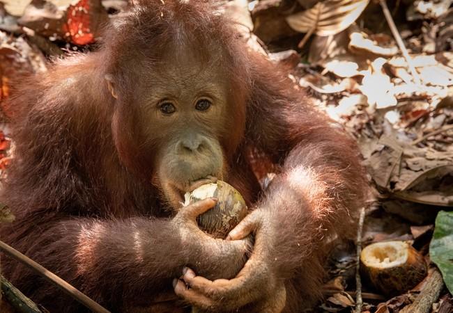 Orangutan Eska at FOUR PAWS ORANGUTAN FOREST SCHOOL