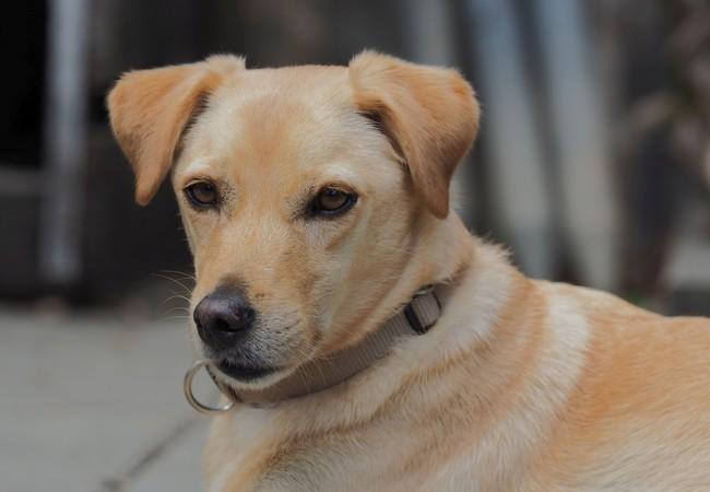 Portrait eines blonden Hundes, der Halsband trägt