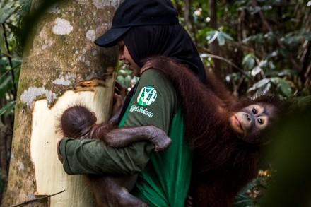 Caregiver with orangutan orphans