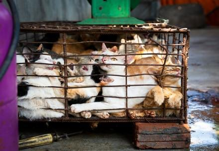 A group of cats being caged for the cat meat trade in Vietnam