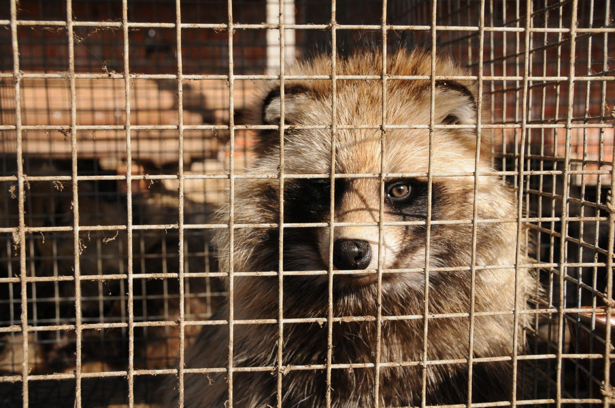 Raccoon dog in fur farm