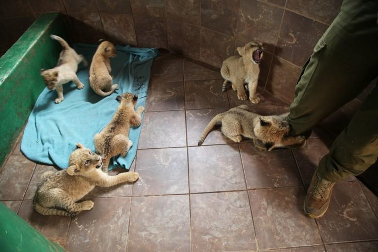 Lion cubs in breeding farm