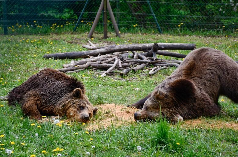 Bären Sylvia und Pavle