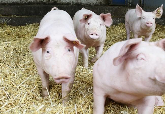 Schweine sind neugierige Wesen.
