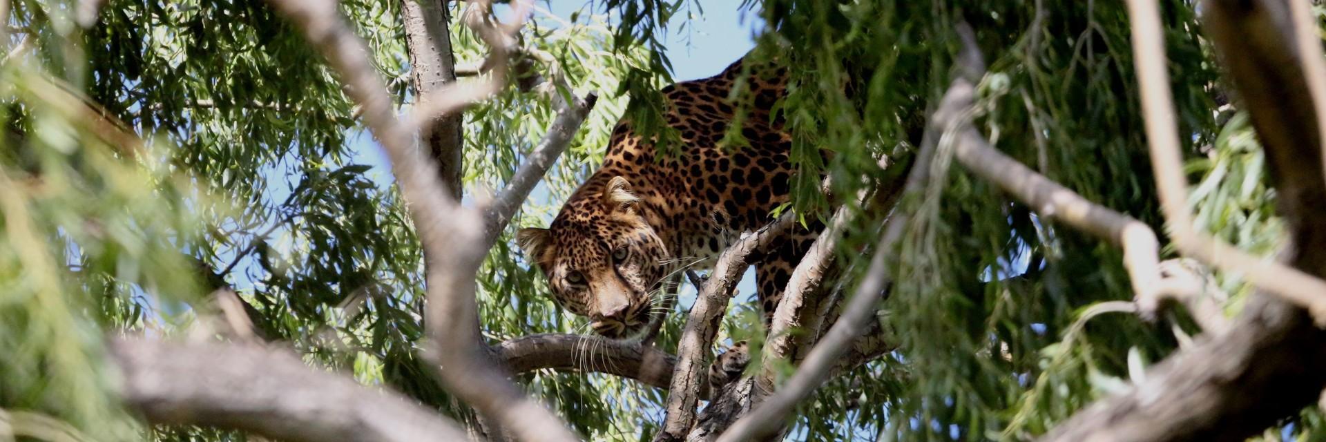 Luipaard Bakari in LIONSROCK