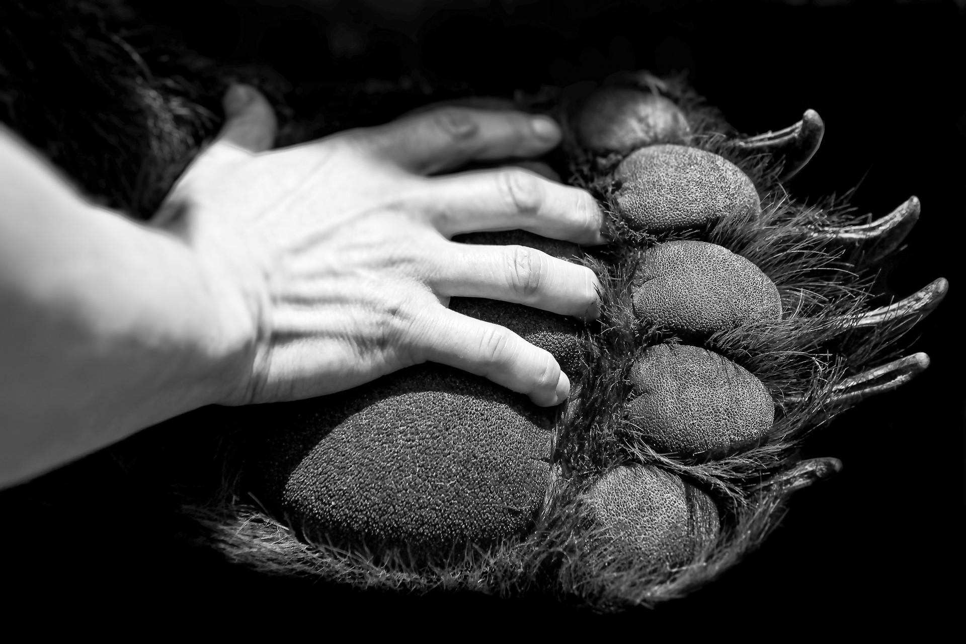 Bear Paw and human hand