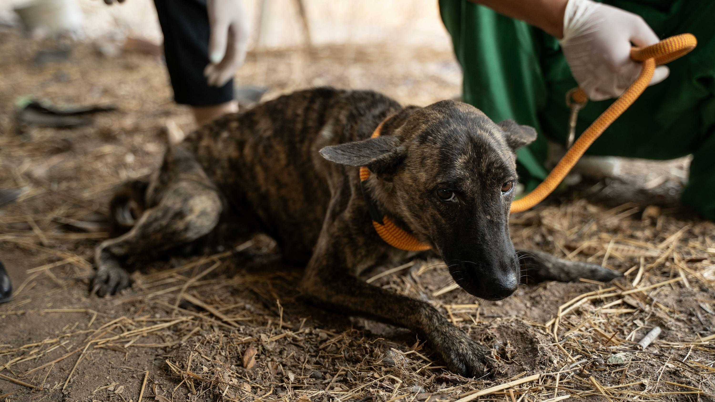 Rescued dog Julie in need of medical care