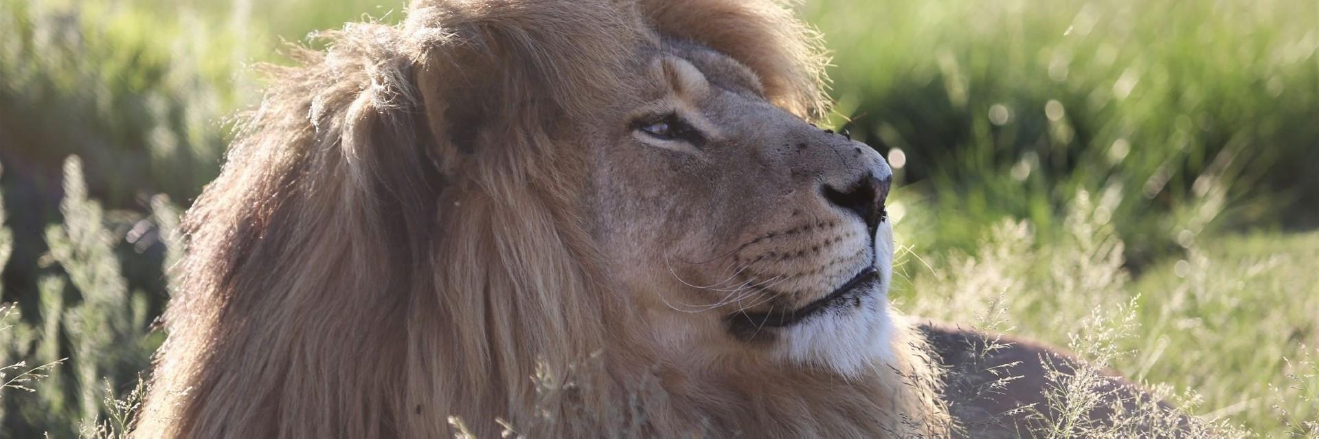 lion lying in the field