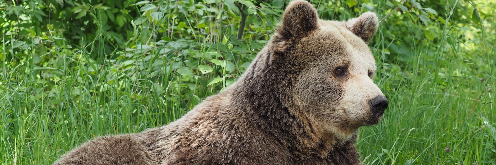 bear Brumca relaxing in the grass