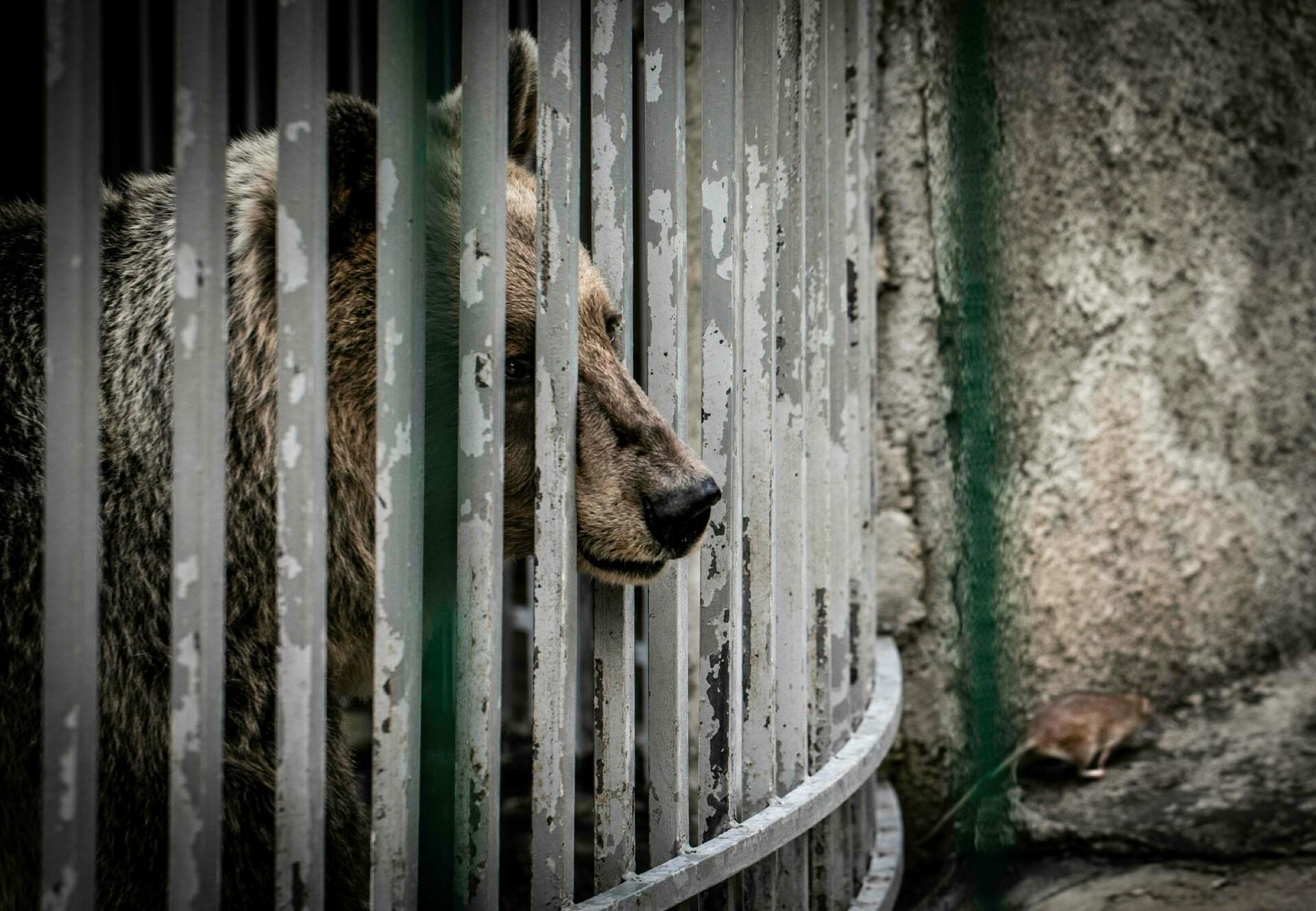 Bär im Käfig