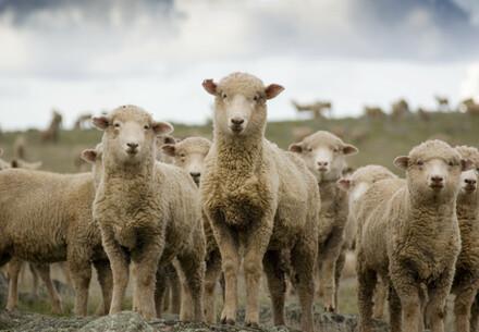 Animal Charity - Sheep looking at camera