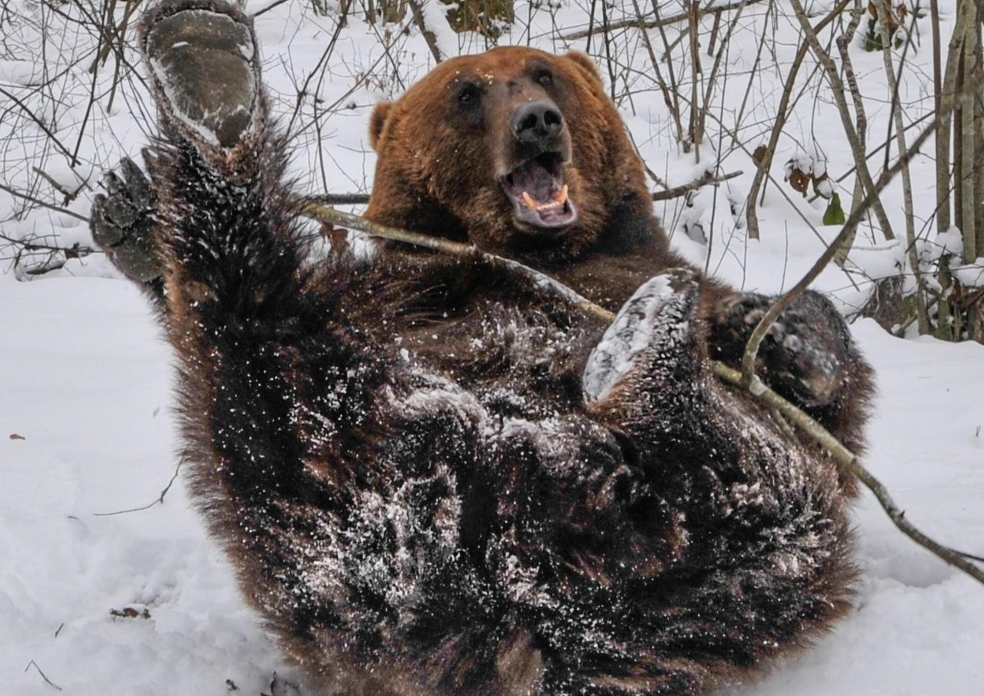 Bär im Schnee im BÄRENWALD Domazhyr (c) VIER PFOTEN