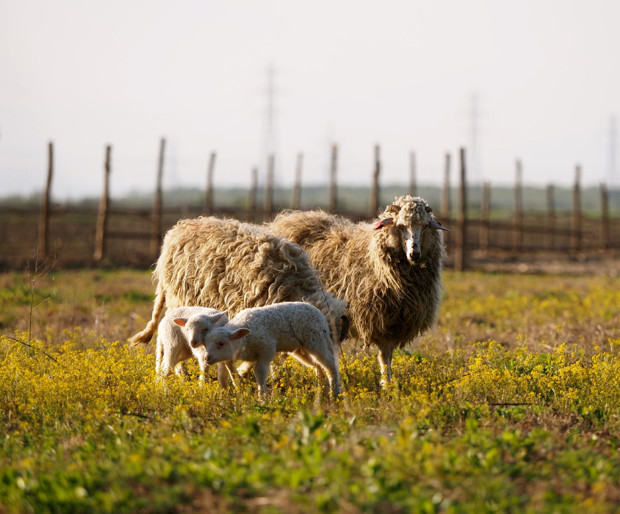 Sheep-grass-fence