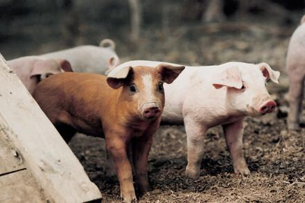 Pigs in farms