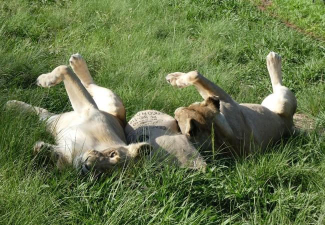 Lionesses Luna and Elsa playing in the grass