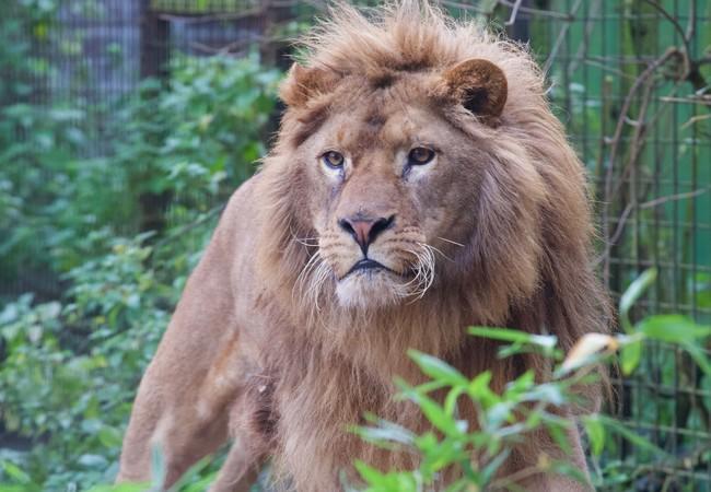 Lion Ivan-Asen