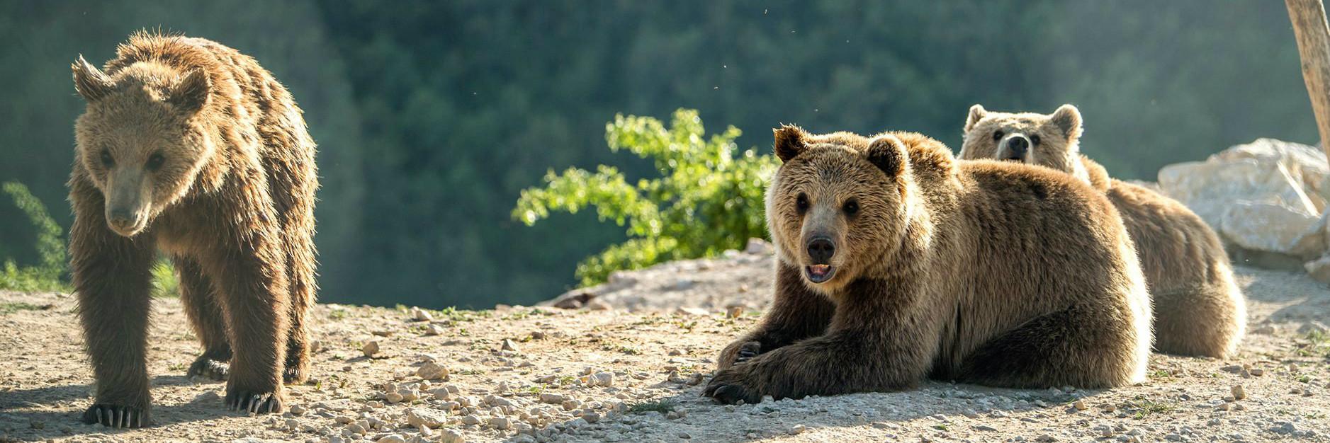 Bears Ema, Ron and Oska