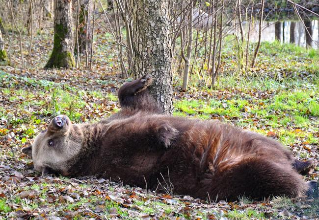 brown bear laying in the forest at sanctuary