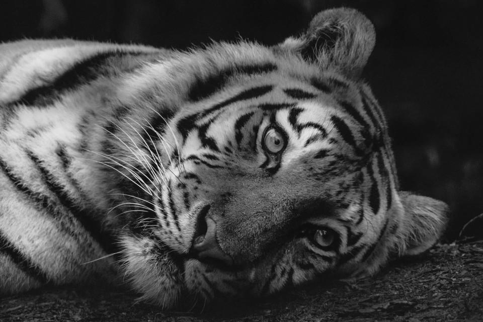 Tiger laying down