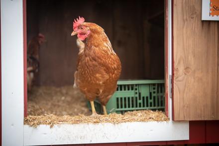 Huhn kommt aus dem Stall um im freien herumzulaufen