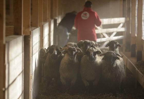 Moutons morts des suites du naufrage du bateau en Roumanie