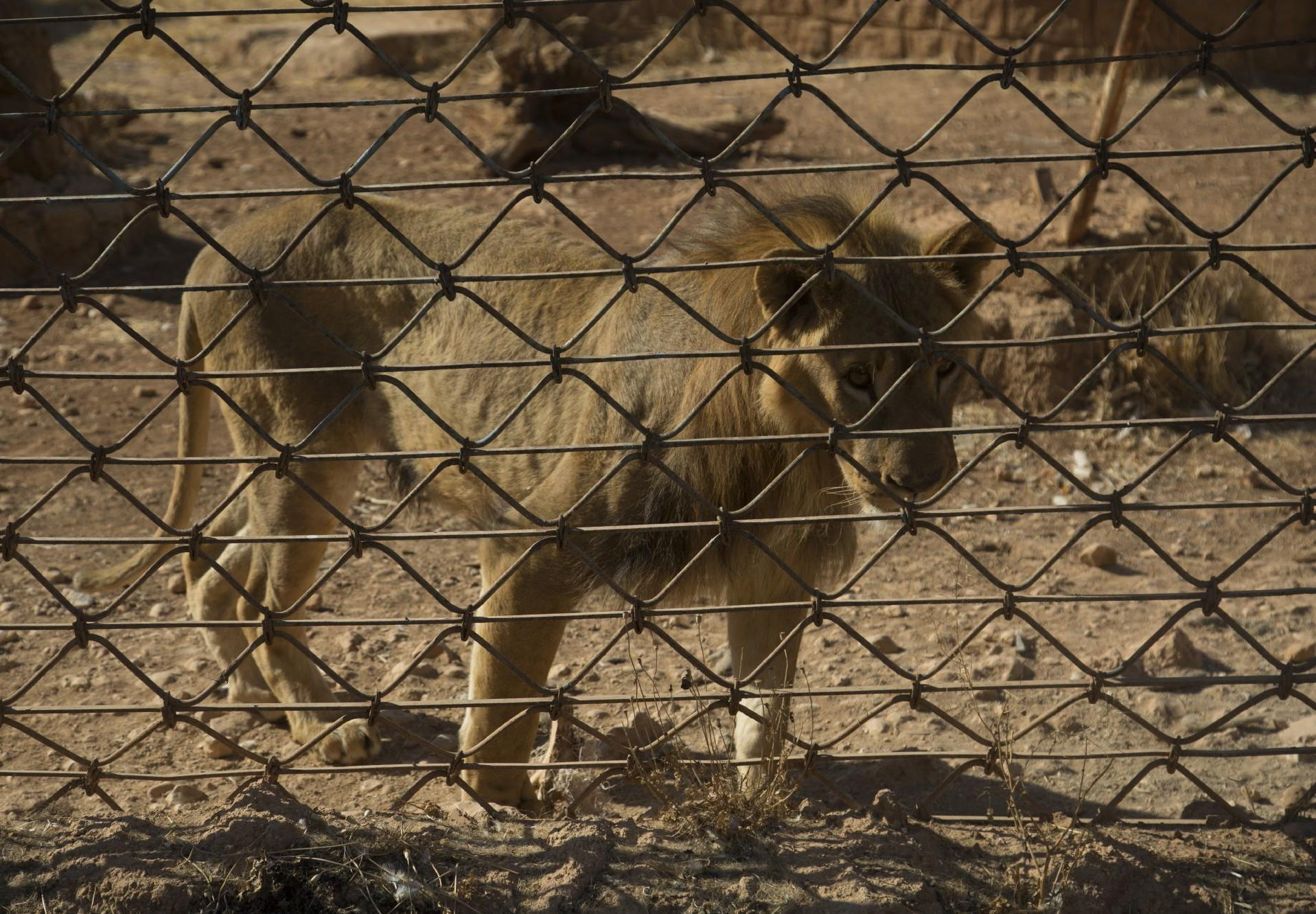 Lion in a zoo near the Syrian city of Aleppo