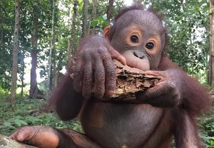 Baby Orangutan Indra