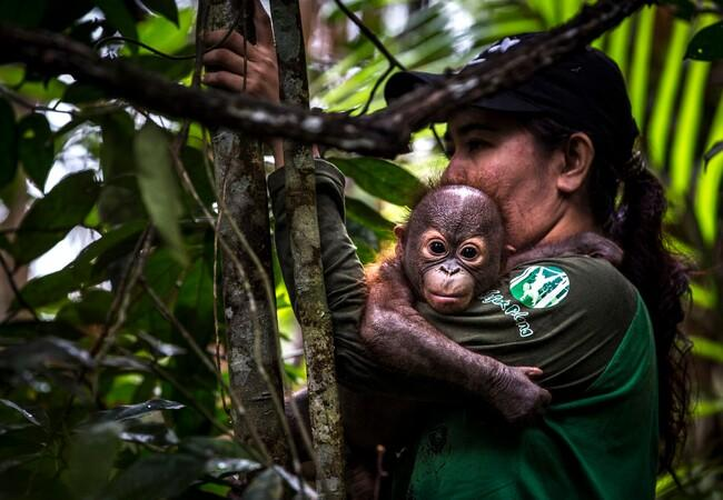 Orangutan Gerhana getting a helping hand