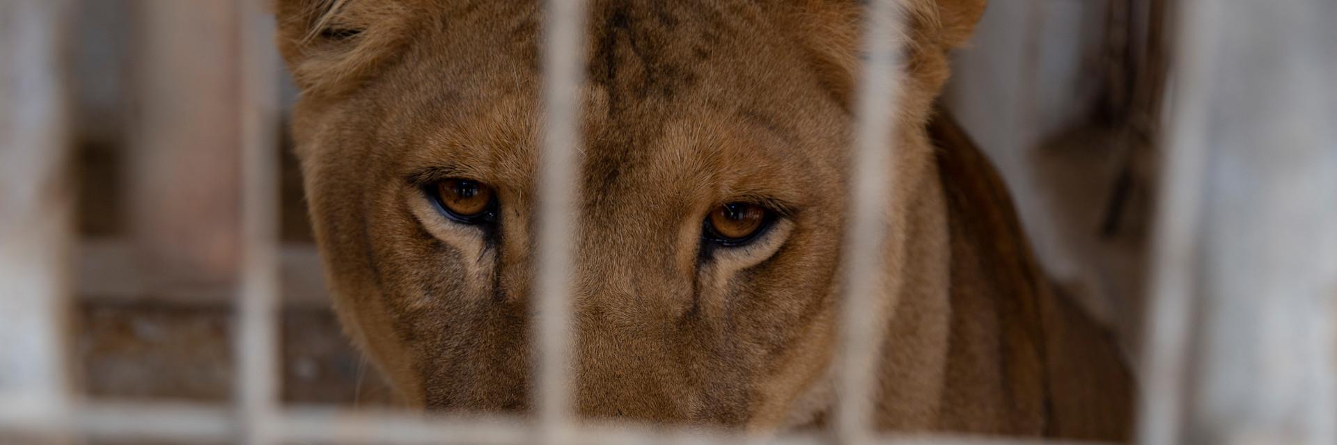 Een leeuw uit Rafah Zoo, Gaza