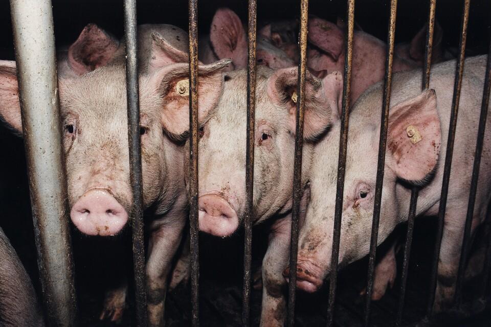 Schweine hinter Gittern