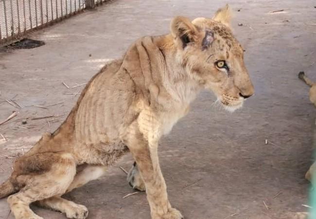Löwen im Sudan