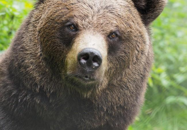 Bear Emma at BEAR SANCTUARY BEAR SANCTUARY Arbesbach