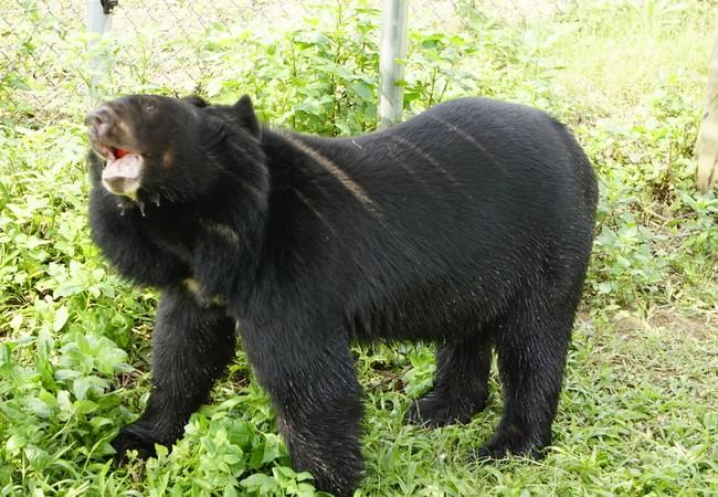 Asiatic black bear in Ninh Binh
