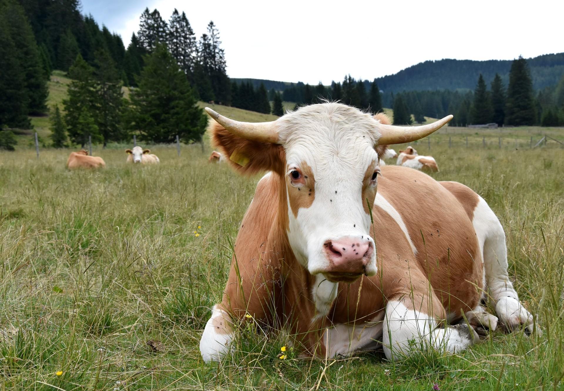 Zwei Rinder auf der Weide (C) VIER PFOTEN