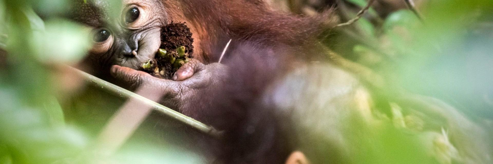 Orphan orangutan playing in the forest