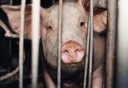 Schwein hinter Gittern