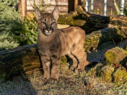 Junger Puma Tikam