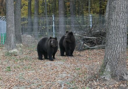 Bears Frol and Frosia at BEAR SANCTUARY Domazhyr